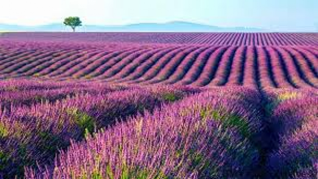 lavender fields in Guadalajara